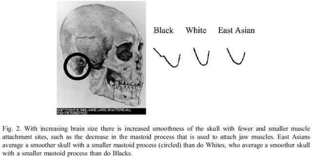 Brain size, IQ, and racial-group differences - Evidence from musculoskeletal traits (Figure 2)