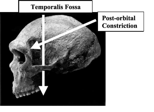 Brain size, IQ, and racial-group differences - Evidence from musculoskeletal traits (Figure 3)